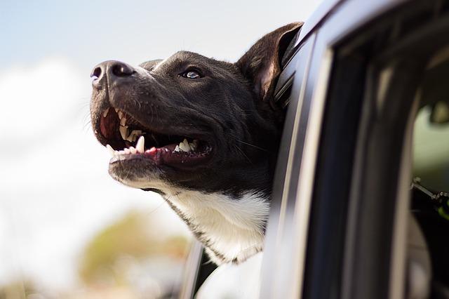 Autopolstring hjap mig med mine hunde.